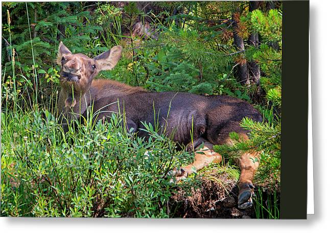 Baby Moose Greeting Card by Loree Johnson