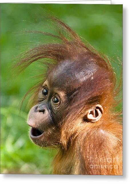 Baby Orangutan Greeting Card by Andrew  Michael