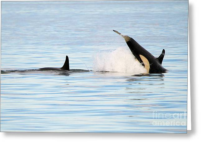 Water Play Greeting Cards - Baby Orca Tag Greeting Card by Mike Dawson