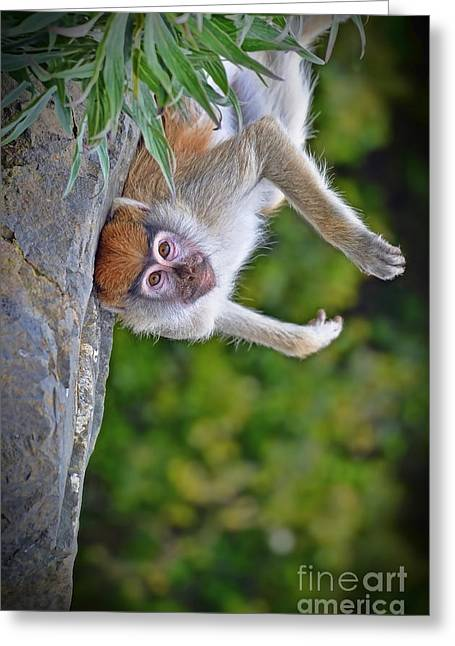 Surprise Greeting Cards - Baby Patas Laying on His Back  Greeting Card by Jim Fitzpatrick