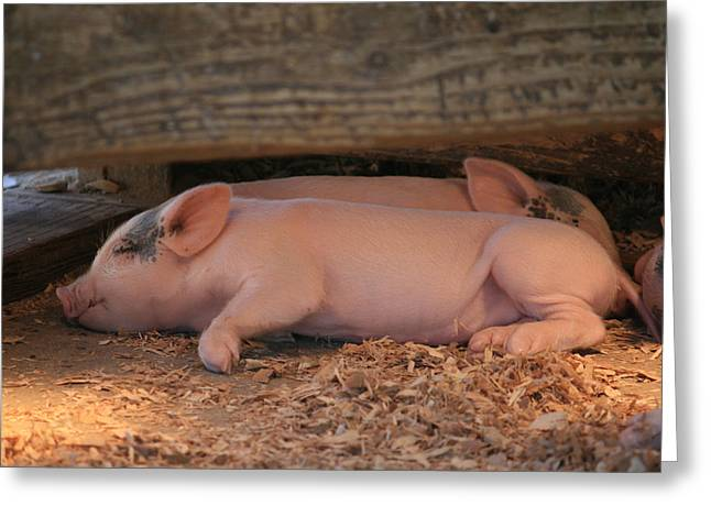 Piglets Greeting Cards - Baby Piglets Greeting Card by Kathleen Scanlan