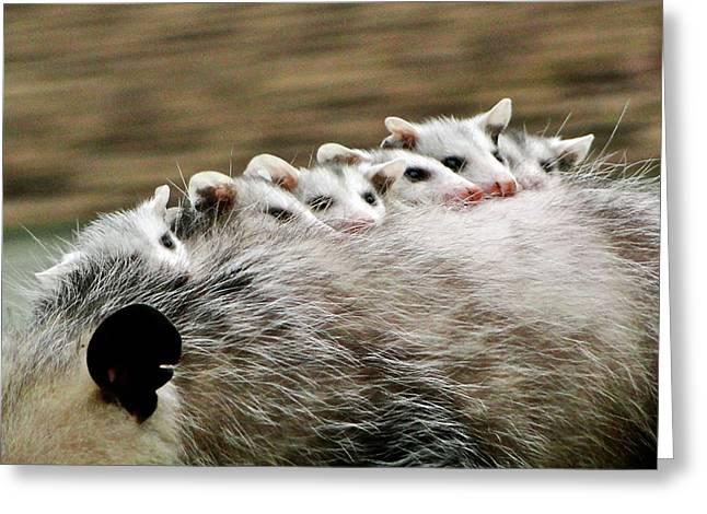Critter Greeting Cards - Baby Possums Greeting Card by Liz Vernand
