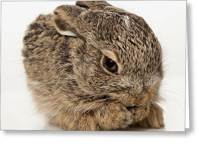 Adorable Bunny Greeting Cards - Baby Rabbit Cleaning Himself Greeting Card by Leah Hammond