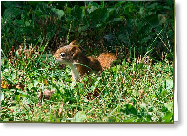Farm Stand Greeting Cards -        Baby Red Squirrel Greeting Card by Joan Kaplan