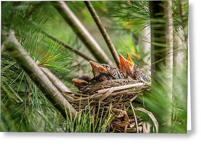 Hungry Chicks Greeting Cards - Baby robins in Summer Greeting Card by Michael Bowen