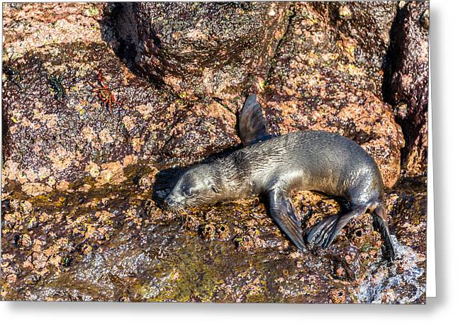 Sea Lions Greeting Cards - Baby Sea Lion Greeting Card by Jess Kraft