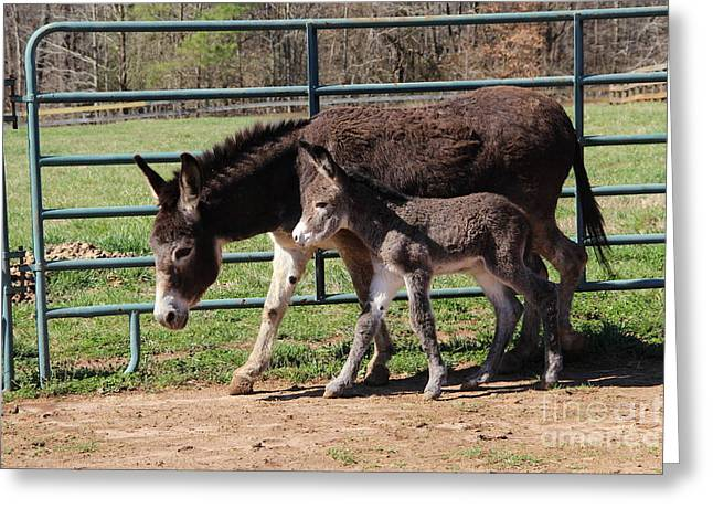 Baby Donkey Greeting Cards - Baby steps Greeting Card by Pauline Ross