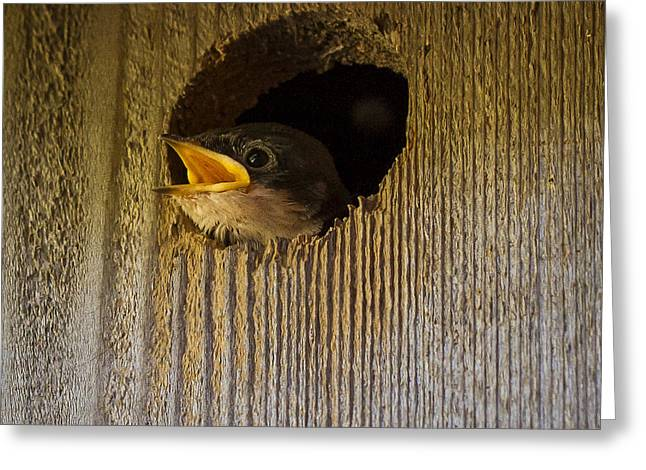 Crying Bird Greeting Cards - Baby Swallows first impression Greeting Card by Jean Noren
