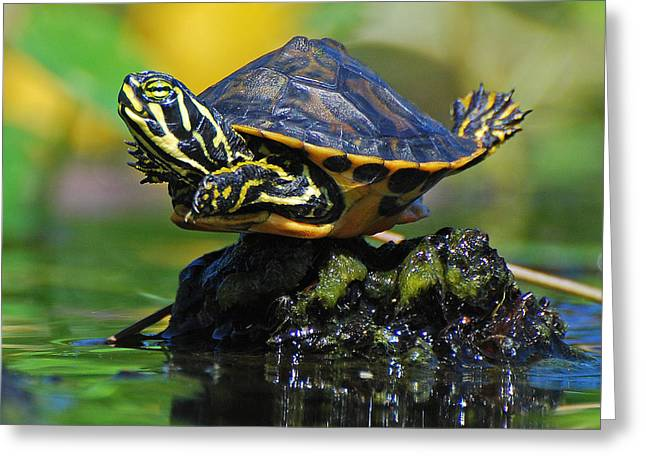 Jessie Dickson Greeting Cards - Baby Turtle Planking Greeting Card by Jessie Dickson