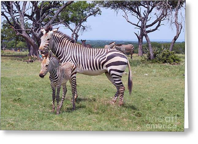 Zebra Picture Prints Greeting Cards - Baby Zebra with his Mother Greeting Card by Venus