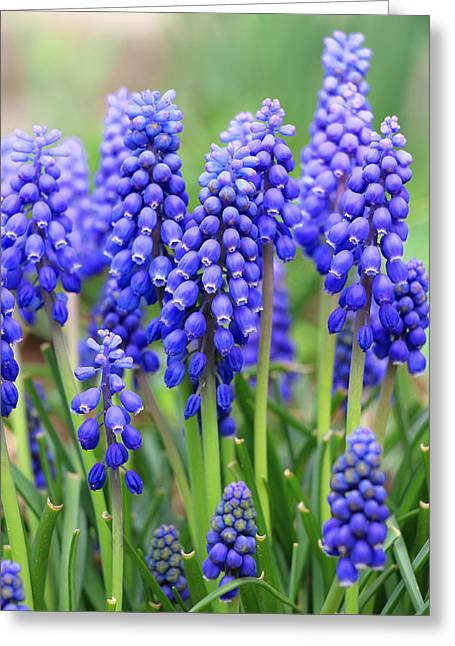 Blue Grapes Greeting Cards - Babys Breath Greeting Card by Iryna Burkova