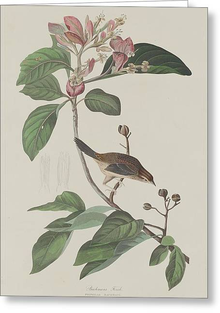 Small Bird Greeting Cards - Bachmans Finch Greeting Card by John James Audubon