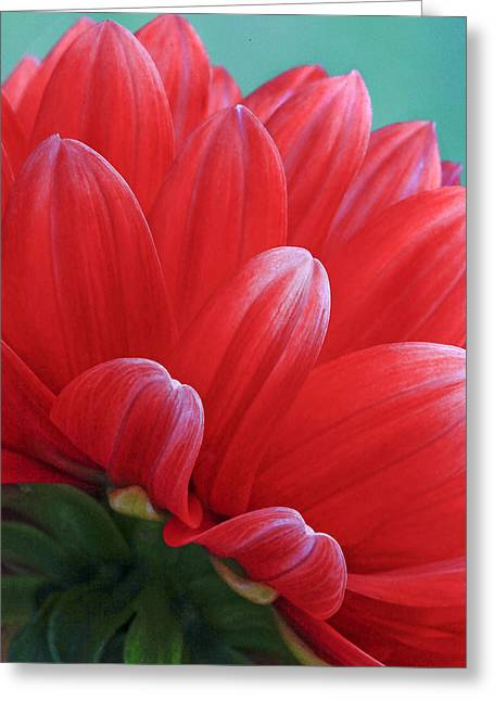 Back Side Of Red Dalia Greeting Card by James Steele