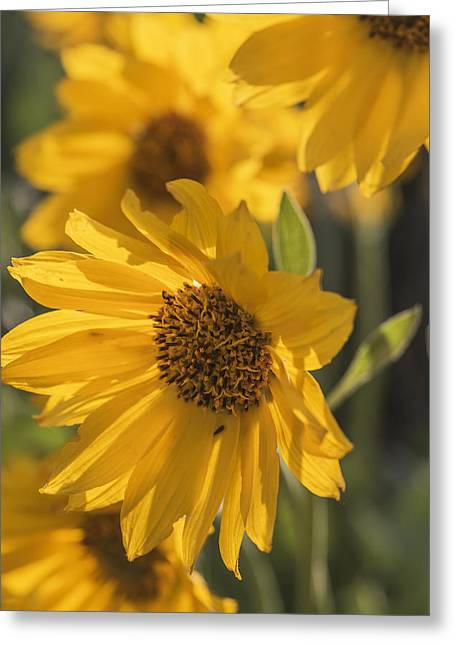 In Depth Greeting Cards - Backlit Balsamroot flowers in morning light Greeting Card by Vishwanath Bhat