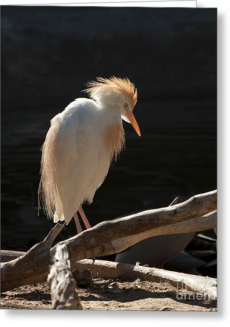 Cattle Egret Greeting Cards - Backlit Egret Greeting Card by Sandra Bronstein