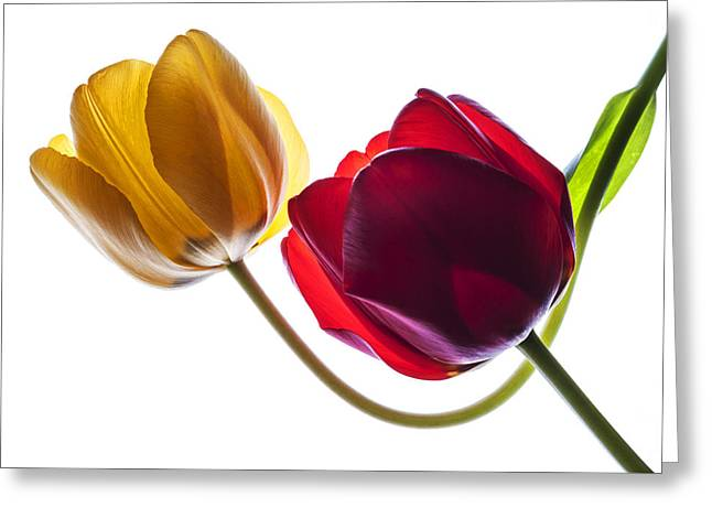 Backlit Red And Yellow Tulip On White Greeting Card by Vishwanath Bhat