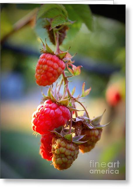 Fruit On The Vine Greeting Cards - Backyard Garden Series - The Freshest Raspberries Greeting Card by Carol Groenen