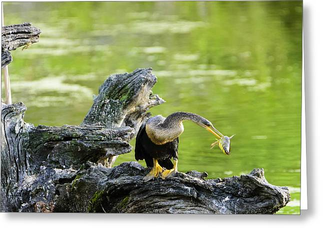 Pelicaniformes Greeting Cards - Bad Day to be a Catfish Greeting Card by Steve Samples
