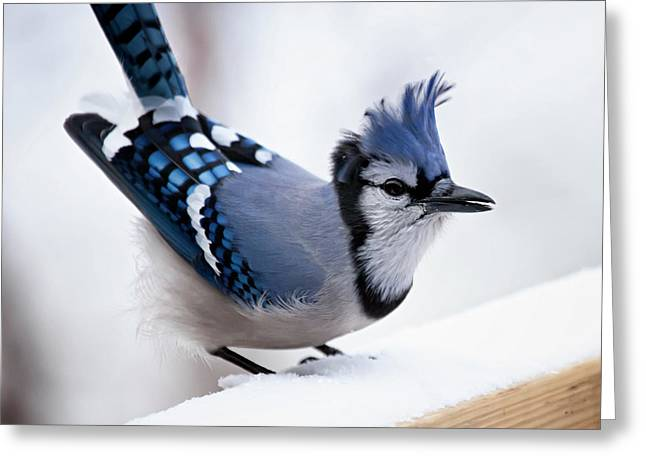 White Blue Greeting Cards - Bad feather day Greeting Card by Al  Mueller
