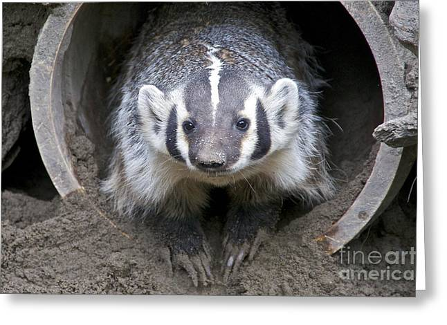 Sean Griffin Greeting Cards - Badger Greeting Card by Sean Griffin