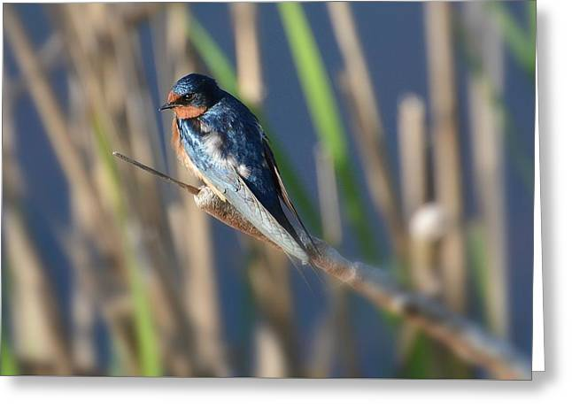 Barn Swallow Greeting Cards - Balance 2 Greeting Card by Fraida Gutovich