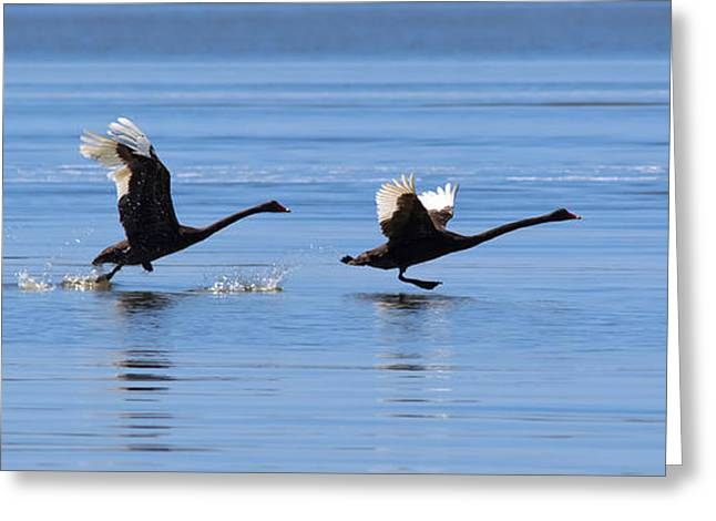 Black Swans Greeting Cards - Balck Swans Taking to Flight Greeting Card by Bill  Robinson