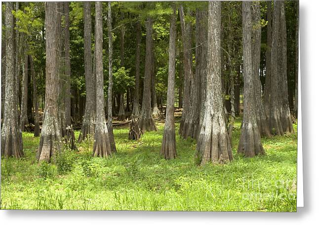 Bald Cypress Greeting Cards - Bald Cypress Forest Greeting Card by Inga Spence