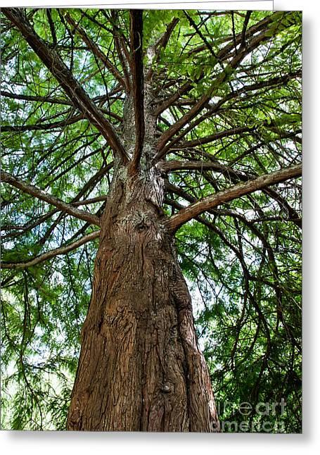 Bald Cypress Greeting Cards - Bald Cypress Tree Greeting Card by Inga Spence