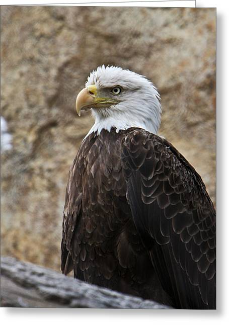 Concentration Greeting Cards - Bald Eagle - Portrait 2 Greeting Card by Douglas Barnett