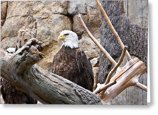 Concentration Greeting Cards - Bald Eagle - Portrait Greeting Card by Douglas Barnett
