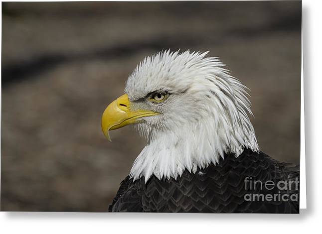Andrea Silies Greeting Cards - Bald Eagle Greeting Card by Andrea Silies