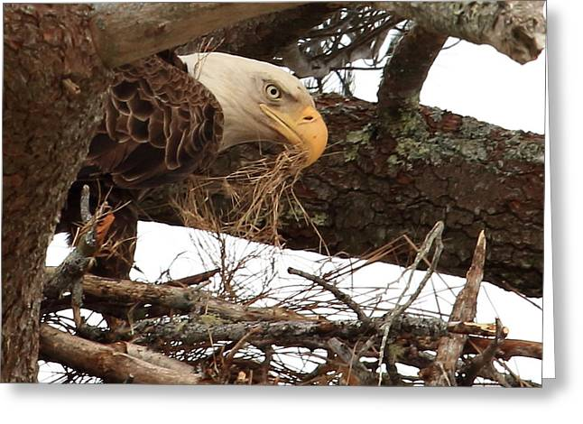 Preditor Greeting Cards - Bald Eagle at Nest Greeting Card by Tom Mason
