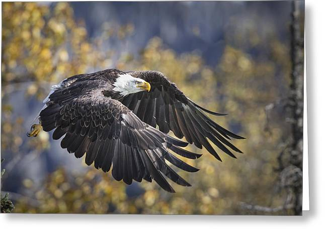 Differential Focus Greeting Cards - Bald Eagle In Flight, Alaska, Autumn Greeting Card by Rob Daugherty