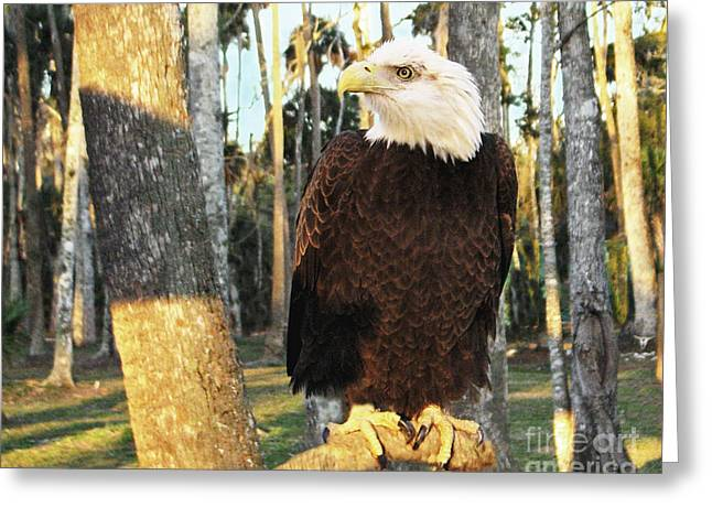Bravery Greeting Cards - Bald Eagle in Florida Greeting Card by Sabrina Wheeler