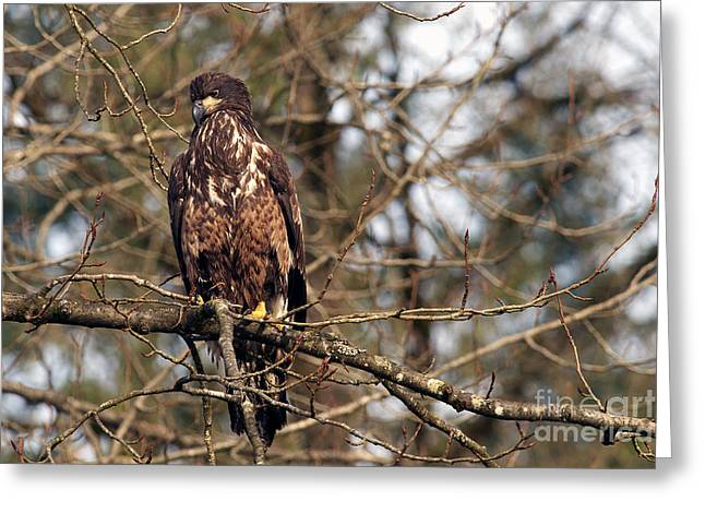 Juvenile Birds Greeting Cards - Bald Eagle juvenile 2 Greeting Card by Sharon  Talson