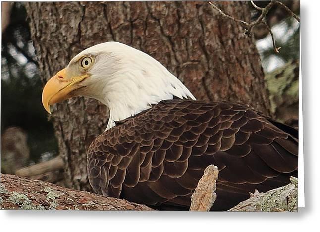 Preditor Greeting Cards - Bald Eagle Keeping Watch Greeting Card by Tom Mason
