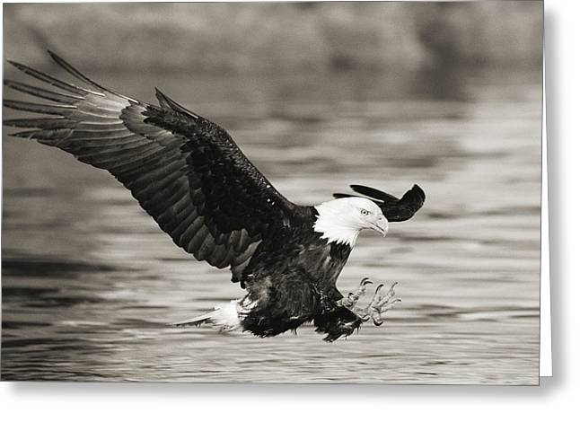 Tongass Greeting Cards - Bald Eagle Landing Greeting Card by John Hyde - Printscapes