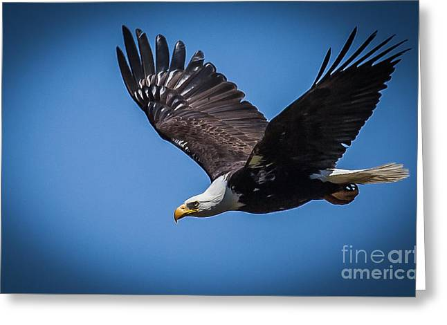 Hunting Bird Greeting Cards - Bald Eagle Launch Greeting Card by Webb Canepa