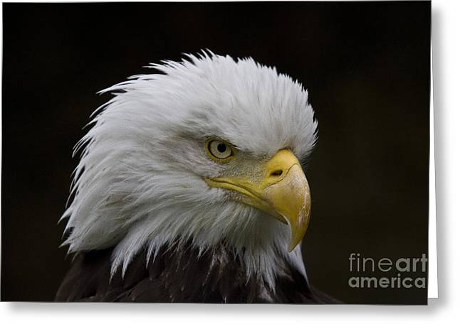 Biology Greeting Cards - Bald eagle looking for food Greeting Card by Heiko Koehrer-Wagner