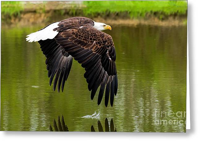 Flying Animal Greeting Cards - Bald eagle over a pond Greeting Card by Les Palenik