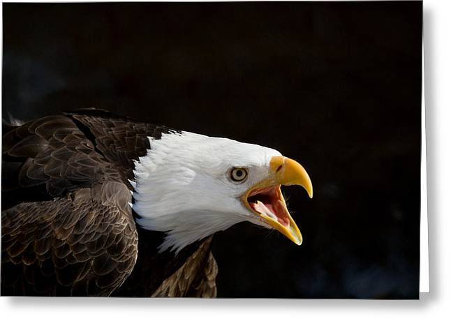 Birds Greeting Cards - Bald Eagle Portrait 2 Greeting Card by Laurie With