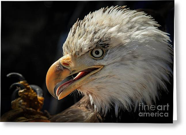 Wildlife Refuge. Greeting Cards - Bald Eagle Portrait Greeting Card by Webb Canepa