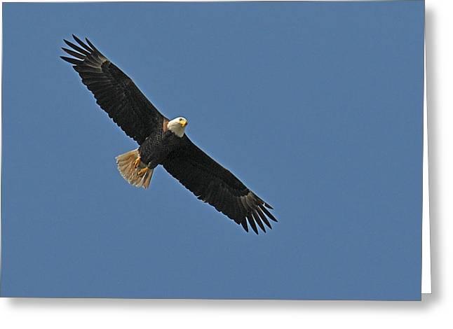 Flying Bird Greeting Cards - Bald Eagle Soaring Greeting Card by Alan Lenk