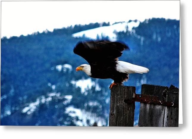 Recently Sold -  - Pond In Park Greeting Cards - Bald Eagle Take-off Greeting Card by Don Mann