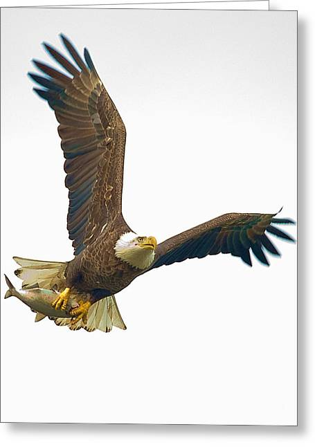 Symbol Of Power Greeting Cards - Bald Eagle With Fish Greeting Card by William Jobes