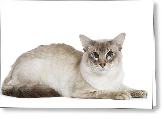 House Pet Greeting Cards - Balinese Cat Greeting Card by Jean-Michel Labat