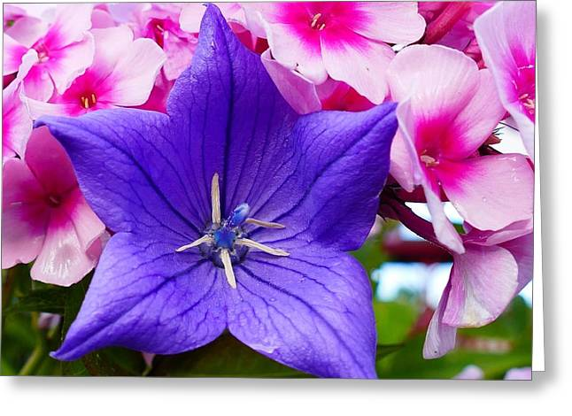 Balloon Flower Greeting Cards - Balloon Flower Greeting Card by Debbie Storie