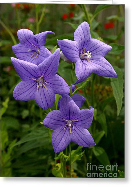 Balloon Flower Photographs Greeting Cards - Balloon Flowers Greeting Card by Steve Augustin