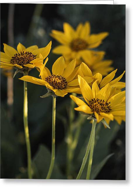 In Depth Greeting Cards - Balsamroot bloom on a spring evening Greeting Card by Vishwanath Bhat