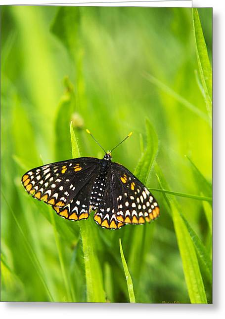 Checkerspot Greeting Cards - Baltimore Checkerspot Butterfly Greeting Card by Christina Rollo